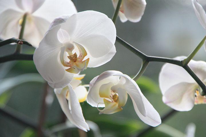 Rasenmax Blühende Orchidee