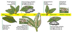 Buchsbaumzünsler Lebenszyklus