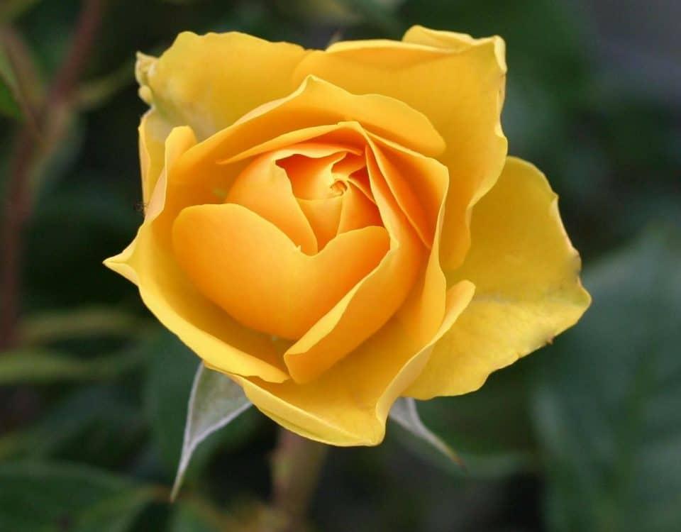 Rose Gelb Pflanzenstark.com